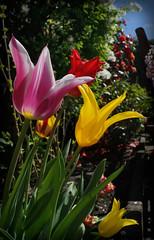 Tulips (Jdolky) Tags: tulp tulips flower flowers bollen bulb garden