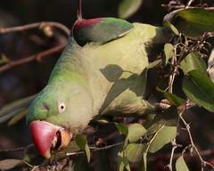 Alaxandrine Parakeet
