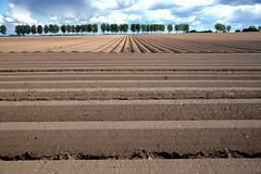 Santerre 5 (JDAMI) Tags: pommesdeterre champ plantation paysage solanacées ciel nuages terre santerre picardie somme 80 hautsdefrance limon marron arbres lignes sillons agriculture nikon d600 tamron 2470 harbonnières 1418 champsdebataille grandeguerre batailledelasomme