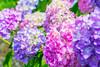 _DSC5215 (sayo-tsu) Tags: hydrangea 紫陽花 アジサイ saitama sattecity gongendopark 権現堂
