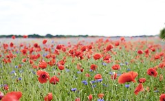 Amapolas (NataliaZapata) Tags: amapolas flowers fieldofflowers field redflowers red rojo rouge poppies fieldofpoppies coquelicot fleur