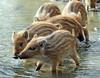 Everzwijn Anholt JN6A8379 (joankok) Tags: zwijn wildzwijn everzwijn wildboar boar mammal zoogdier dier animal europe europa anholt