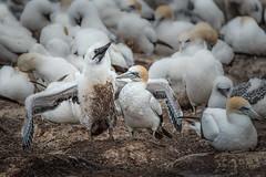 Come on, give me a hug! (BlueberryAsh) Tags: 2016 gannet ocean pointdanger portland bird holiday australasiangannet gannetchick birds gannetcolony seabird westernvictoriatamron 150600nikon d750