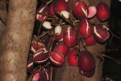 Syzygium branderhorstii (andreas lambrianides) Tags: syzygiumbranderhorstii syzygiumacetosum lockerbie satinash lockerbiesatinash myrtaceae australianflora australiannativeplant australianrainforests australianrainforestplants syzygium arfp cyrfp dryarf tropicalarf lowlandarf arffs redarffs