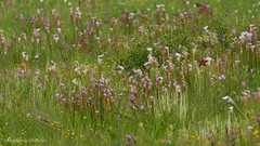 Bog Flowers (stephaniepluscht) Tags: alabama 2017 graham creek nature preserve foley wildflowers wildflower pitcher plant plants sarracenia bog whitetop sedge dichromena colorata