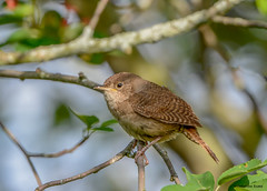 House Wren (Summerside90) Tags: birds birdwatcher housewren may spring migration backyard garden nature wildlife ontario canada