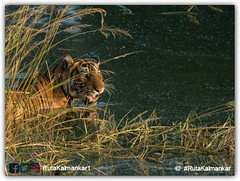 ranthambhore tiger (Wild Life Photographer) Tags: wildlife wildlifephotography wildlifeindia ranthambhore nikon nature photography