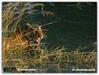 ranthambhore tiger (Wild Life Photographer) Tags: wildlife wildlifephotography wildlifeindia ranthambhore nikon nature photography