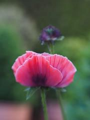 A brief moment of beauty (VintageLensLover) Tags: mohn poppies bokeh schärfentiefe natur outdoor garten lensbaby sweet50 olympus omd em1 dof depthoffield