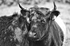 Bodmin Bullock (Project 20/52) (Frosty__Seafire) Tags: bullock cow portrait character face horns bodmin cornwall