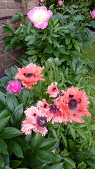 Poppies&Paeonies01 (MikeLane) Tags: uk england south sunshine spring summer hampshire flowers fleurs poppies paeonies pavots orientalpoppies garden alton