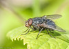 The Fly (sidneyportier) Tags: fly vlieg nikon90 tamron90mm iso1000 1100 f290