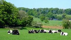 Strathaven 07 (byronv2) Tags: rural countryside clydevalley scotland strathaven farm farming coo cow cows herd animals field animal