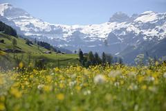 Spring in the Swiss Mountain (JohannesMayr) Tags: switzerland spring mountain flowers landscape schweiz kanton bern lenk simmental simme frühling wiese blumen