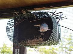 Nest building (JulieK (thanks for 5 million views)) Tags: quakerparrot rio ginny nest box pet