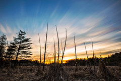 Attack of the Cattails (Matt Molloy) Tags: mattmolloy timelapse photography timestack photostack movement motion orange sky sunset clouds trails lines cattails grass marsh dead trees trunk jonesfalls ontario canada landscape nature lovelife