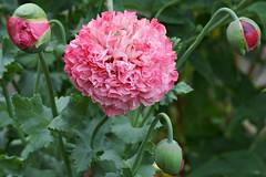 Salmon Peony Poppy (s andrews) Tags: flower poppy peony pink tamron90mm28