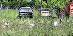 3 Goats...2 Trucks (Eyellgeteven) Tags: abandoned chevrolet chevy chev gm generalmotors generalmotorscorporation pickup pickuptruck truck 1970s dodge chrysler mopar forgotten fence fencedin chainlink goat goats farmtruck farming farm farmland animal animals horns farmanimal worktruck beater beatup rundown dilapidated decay decayed overgrown weeds dented dents dent rust rusty rusted rustyandcrusty faded oxidized oxidation vehicle vintage classic weathered wtf strange unusual bizarre americanmade madeinusa eyellgeteven critter critters outtopasture old retired rural