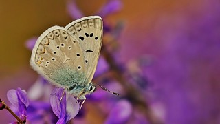 Polyommatus aedon