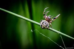 Epeire des roseaux (Patrice Dx) Tags: larinioidescornutus epeiredesroseaux araignée epeire