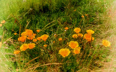 Amapolas - California Poppies (MyRidgebacks - Sharon C Johnson) Tags: amapolas californiapoppies glacierviewranch siskiyoucounty norcal sharoncjohnsonphotography