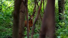 Roe deer (Capreolus capreolus) (LBS Photography) Tags: deer deerroe ree capreoluscapreolus capreolus wildlife morning wakeup early walking hiking belgium