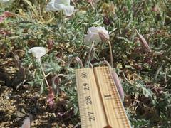 Rinnie_8282 (dimensions of biodiversity) Tags: oenothera californica californicaavita california yucca valley joshuatreelane rinnie 2017 yuccavalley