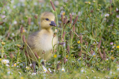 Canada gosling (Happy snappy nature) Tags: canadagosling cute nature wildlife outdoors shropshire sunnyday