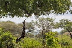 Just a little bit higher... (Ring a Ding Ding) Tags: 2017 africa giraffacamelopardalistippelskirchi littlechemchem stretching tanzania tarangire eating giraffe mammal nature outdoor safari wildlife manyararegion masaigiraffe animal coth coth5 ngc