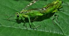 Green sawflies, genus Rhogogaster DSC_0814 (Me now0) Tags: greensawflies genusrhogogaster nikond5300 micronikkor40mm europe park landed insect macro никонд5300 юженпарк софиябългарияевропа