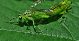 Green sawflies, genus Rhogogaster DSC_0814