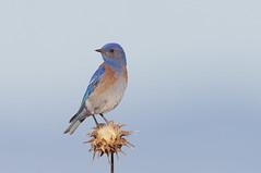 Western Bluebird (Thy Photography) Tags: westernbluebird california animal bird nature photography backyard outdoor wildlife