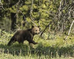 Sassy Grizzly Cub (Patty Bauchman) Tags: grizzly grizzlycub grizzly399 grandtetonnationalpark jacksonwy oxbowbend bear wildbear wildlife nature grizzliesofpilgrimcreek