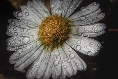 For very Daisy💮 lover (Lakyman) Tags: nikon macro daisy nature naturelovers natura flowers fiori
