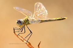 Hembra de Sympetrum fonscolombii (Xavier Mas Ferrá) Tags: hembra libélula sympetrum sympetrumfonscolombii insecto migrador odonato anisóptero libelluidae ibiza eivissa
