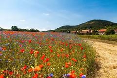 #Mohn #Kornblume #cornflower #poppy