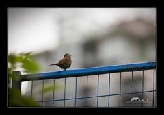 Song Sparrow (the_coprolite) Tags: songsparrow coquitlam bc britishcolumbia hoycreek lafargelake canada nikon d750 sigma 150600mm