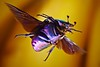 Banana bomb - Protaetia cuprea male in flight (Hubert Polacek) Tags: protaetia cuprea šípek flying flight studio macro iridescence insect beetle chafer scarab rosechafer scarabaeidae cetoniinae insectactivity antennae bananas