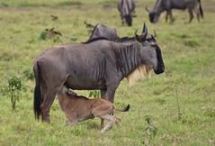"""Hold Still Mommie"" (The Spirit of the World) Tags: wilderbeests antelopes calf nursingcalf calvingseasonmotherandcalf nature wildlife kenya eastafrica africa amboseli nationalpark gameserve safari gamedrive"
