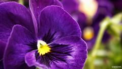#photography #canon700d #istanbul #bahar #spring #flowers #flower #snapseed  #çiçek #colorofspring #colourful #menekşe #violet (oppeslife) Tags: colorofspring çiçek menekşe snapseed colourful spring canon700d flower violet istanbul photography bahar flowers