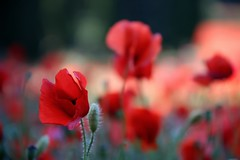 Le champ de coquelicots (¡! Nature B■x !¡) Tags: img5246 poppy poppies poppyfields nature fleur flower coquelicot champ pavot rouge