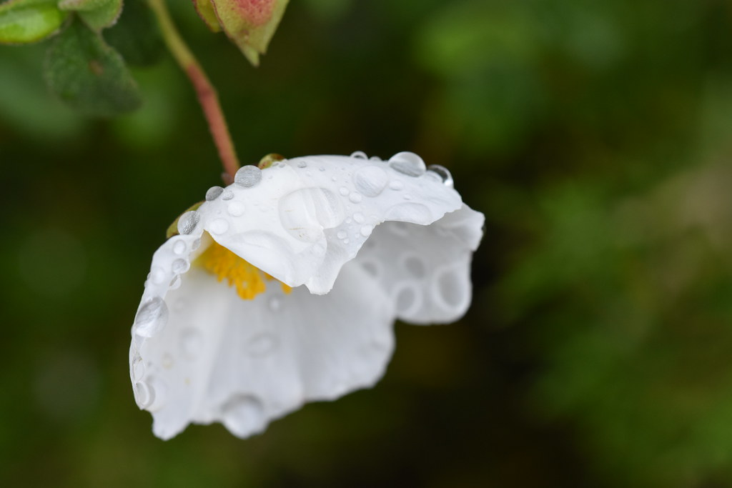 The Worlds Best Photos Of Cistus And Plantas Flickr Hive Mind