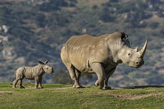 Kiazi's Ray of Hope (San Diego Zoo Global) Tags: sandiegozooglobal©2016 animals nature wildlife conservation baby rhino cute sandiego safaripark travel