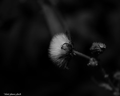 White In Blackness (that_damn_duck) Tags: blackandwhite monochrome nature plant pointofview bw blackwhite