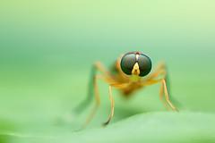 Ptecticus testaceus (Soldier fly) (Bruno Garcia Alvares) Tags: soldierfly moscasoldado ptecticustestaceus diptera fly mosca macro macrofotografia macrofotography extrememacrophotography empilhamentodefoco fieldstacking focusstacking brunogarciaalvares insetos insect insetosbrasileiros insetosdobrasil amazoninsects amazinginsect colorfulinsects insetosdaamazônia specanimal