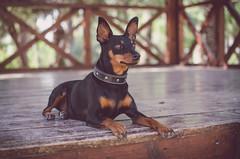 Mini Doberman (crisgarr) Tags: dog chien cane pinscher miniaturepinscher minipin portrait retrato ritratto