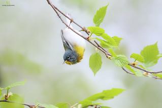 Northern parula - Paruline à collier - Setophaga americana