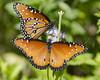 Queens on the Mist (briarphotos) Tags: briarphotos nikon nikon18200mm butterflies queen greggsmist