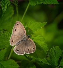 Season Opener (Portraying Life, LLC) Tags: da3004 hd14tc k1 butterfly closecrop handheld nativelighting michigan unitedstates