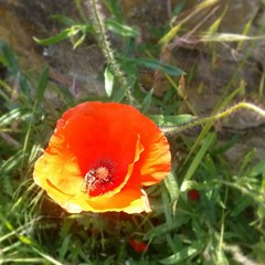 Besoffen von #Mohn. (alexebel) Tags: instagram iphone4
